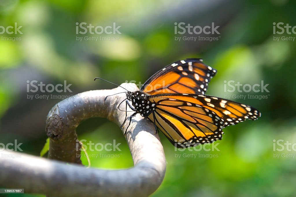 Closeup of monarch butterfly on a branch royalty-free stock photo