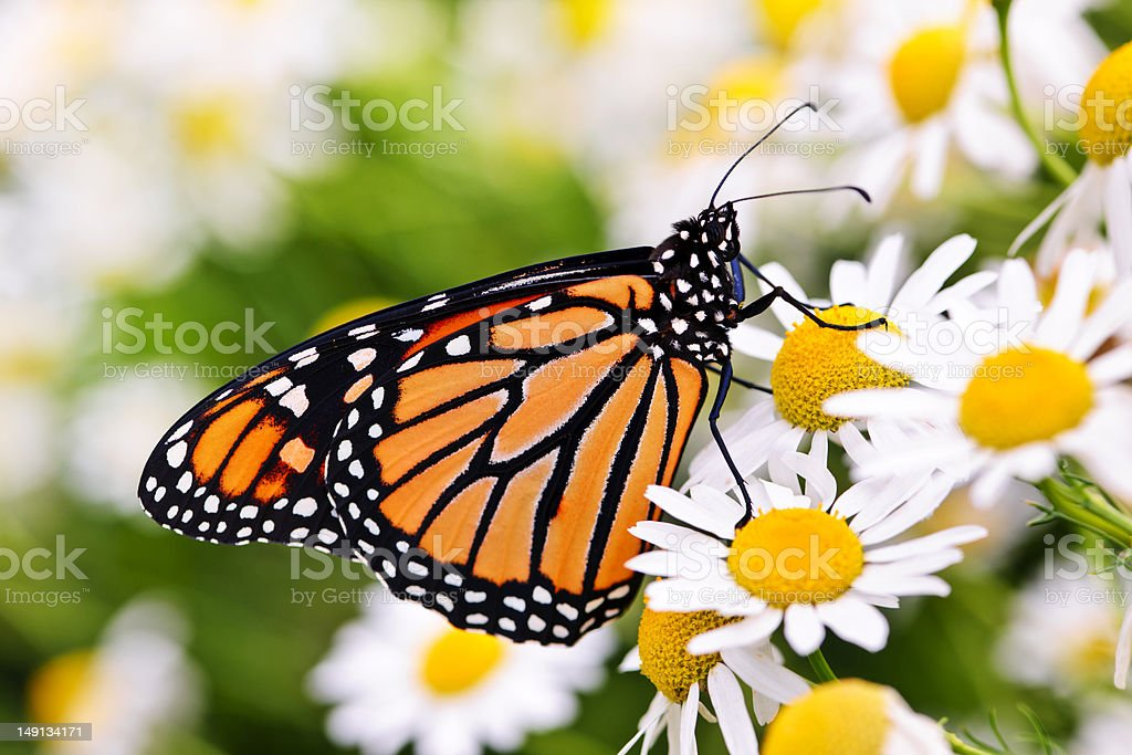 Close-up of Monarch butterfly on a cluster of daisies stock photo