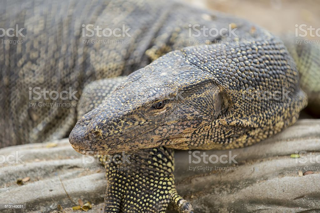 Closeup of monitor lizard stock photo