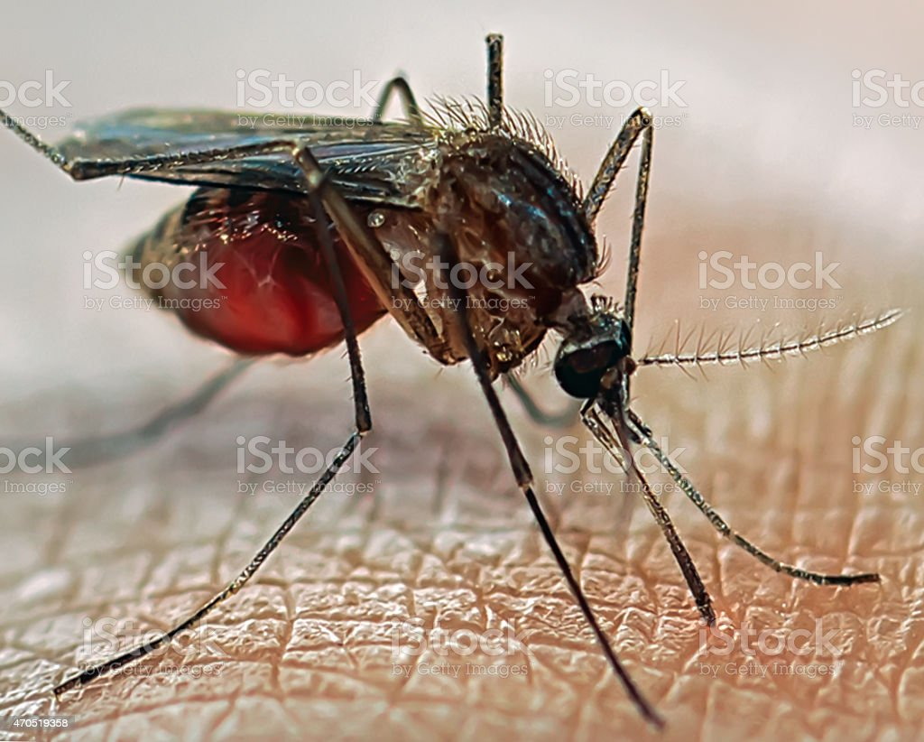 Closeup Of Mosquito Standing On Skin stock photo 470519358 - iStock Mosquito sucking blood - 웹
