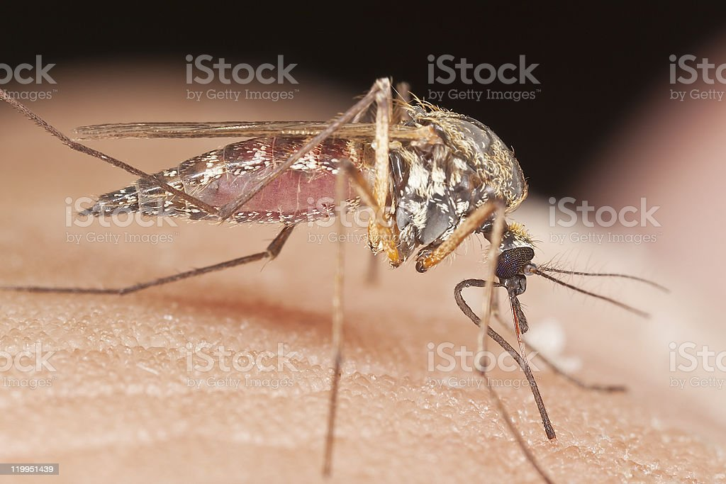 Close-up of mosquito sucking blood royalty-free stock photo