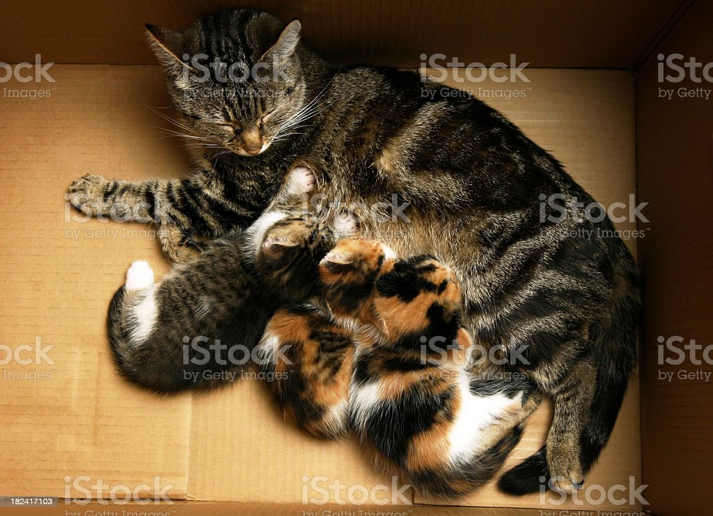 Close-up of mother cat breast-feeding her babies royalty-free stock photo