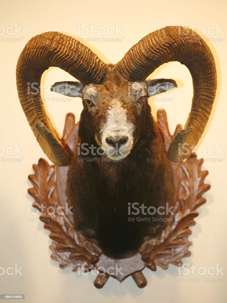 Closeup of moufflon skull trophy hanging on wall stock photo
