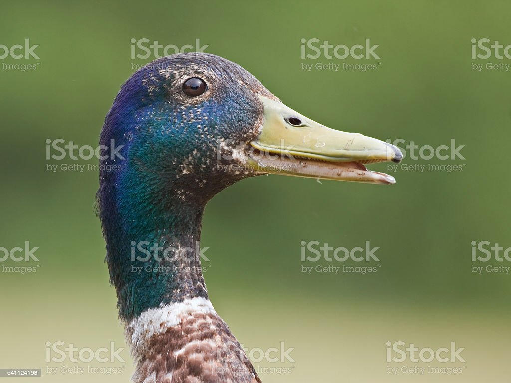 Close-up of moulting drake stock photo