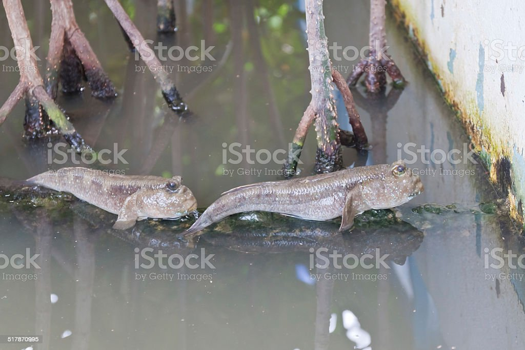 Closeup of Mudskipper stock photo