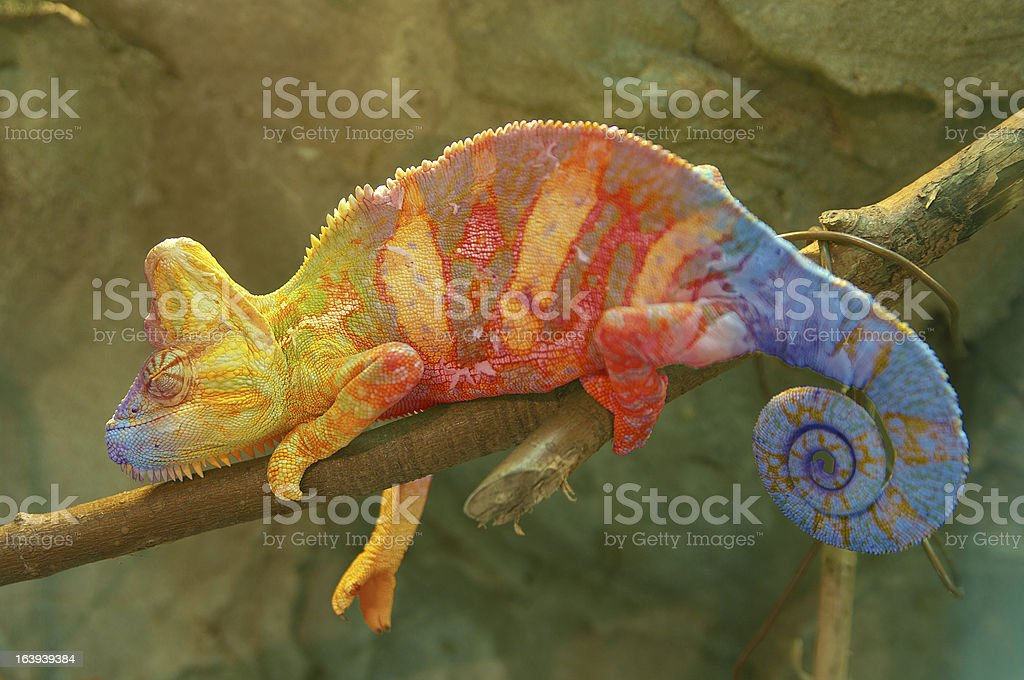 Close-up of multicolored chameleon on tree branch stock photo