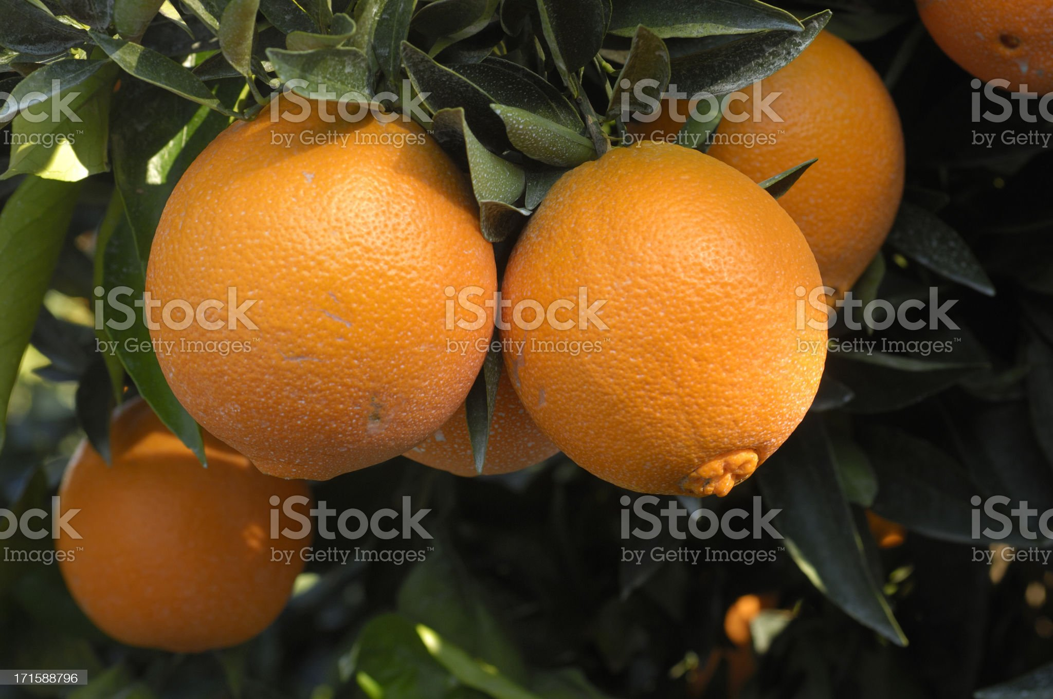 Close-up of Navel Oranges Ripening On Tree royalty-free stock photo
