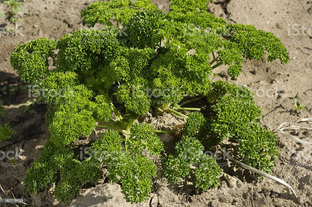 Close-up of New Organic Parsely Plants royalty-free stock photo