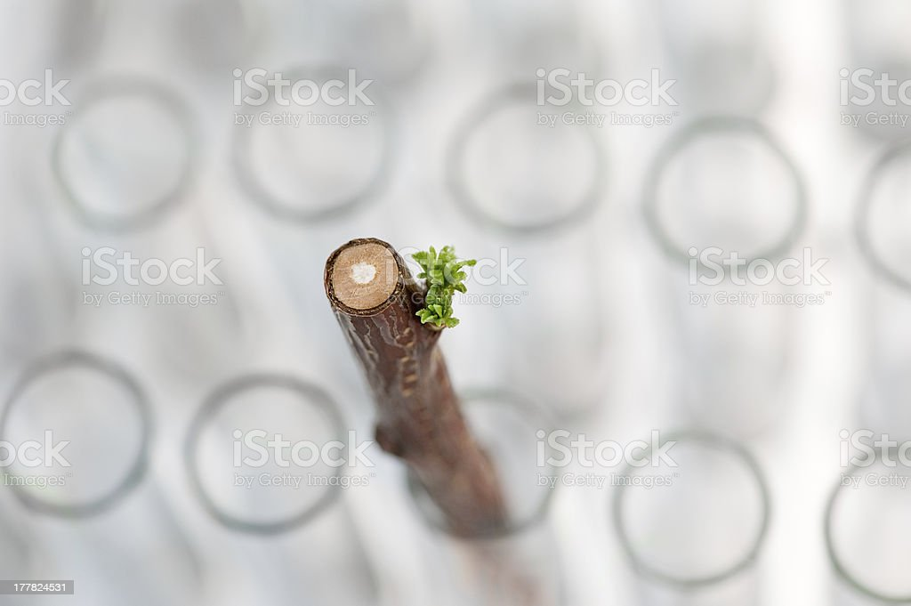 Close-up of new small apricot tree stock photo