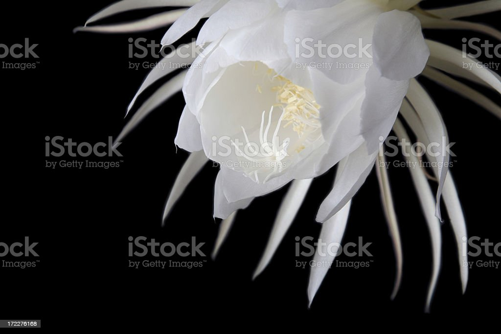 Closeup of Night Blooming Cereus Orchid Cactus Flower on Black stock photo
