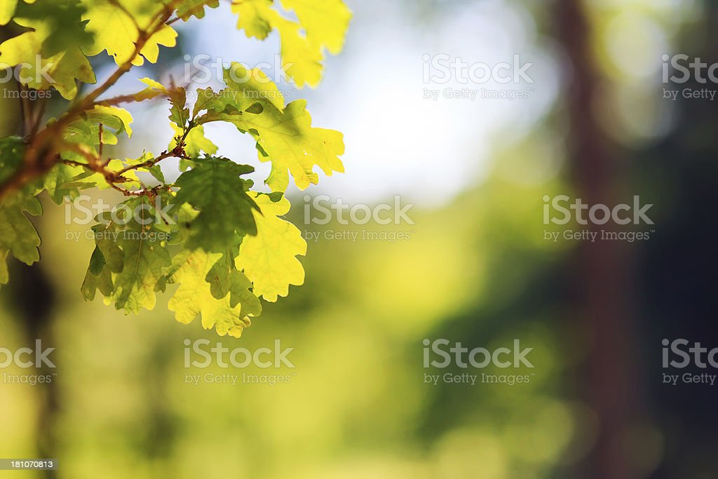 Close-up of oak leafs royalty-free stock photo