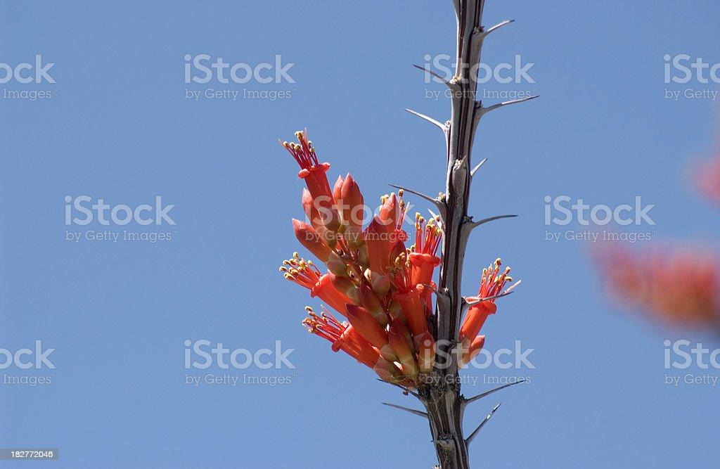 Closeup of Ocotillo cactus blossom stock photo