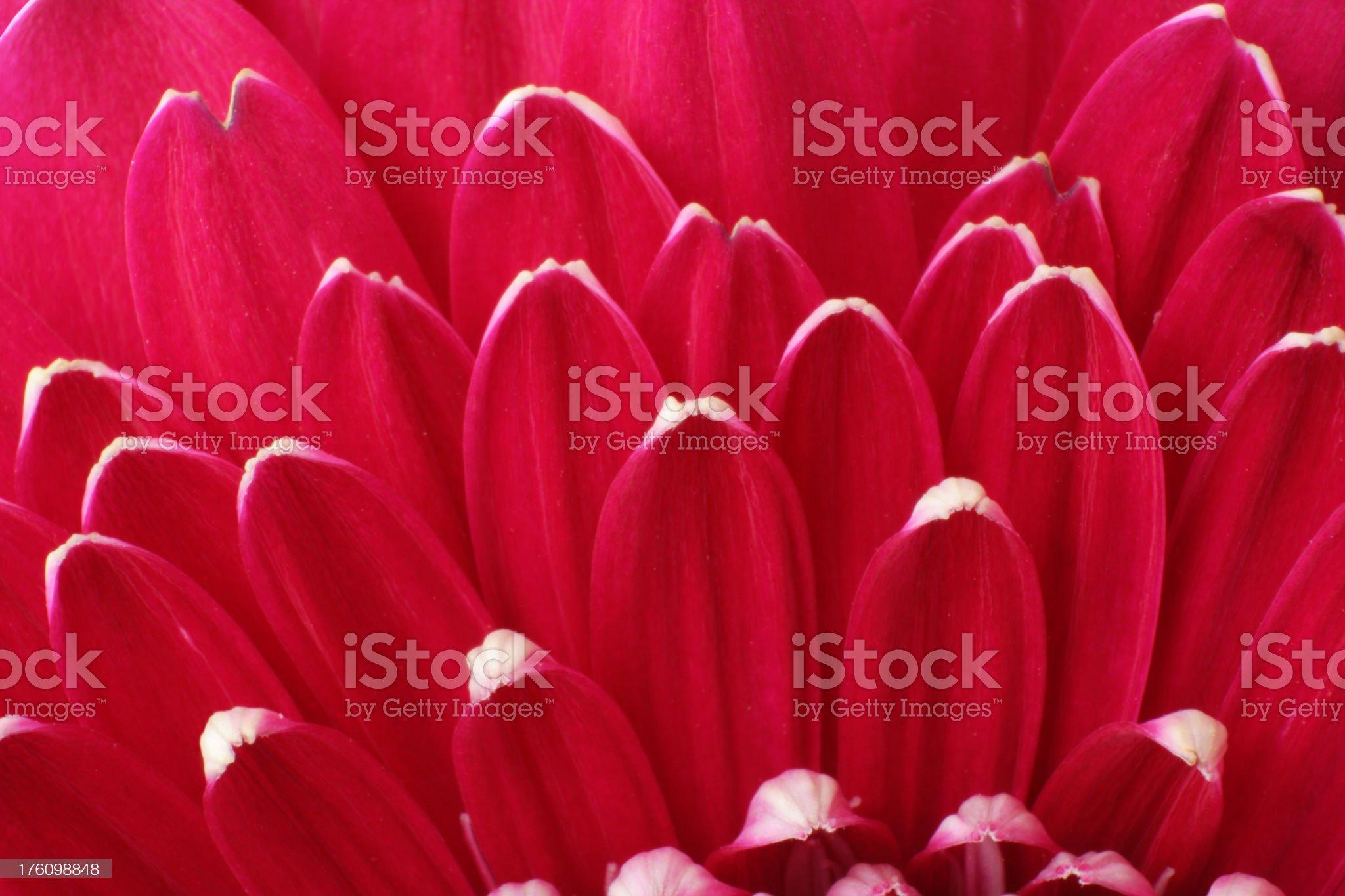 Close-up of one magenta gerbera royalty-free stock photo
