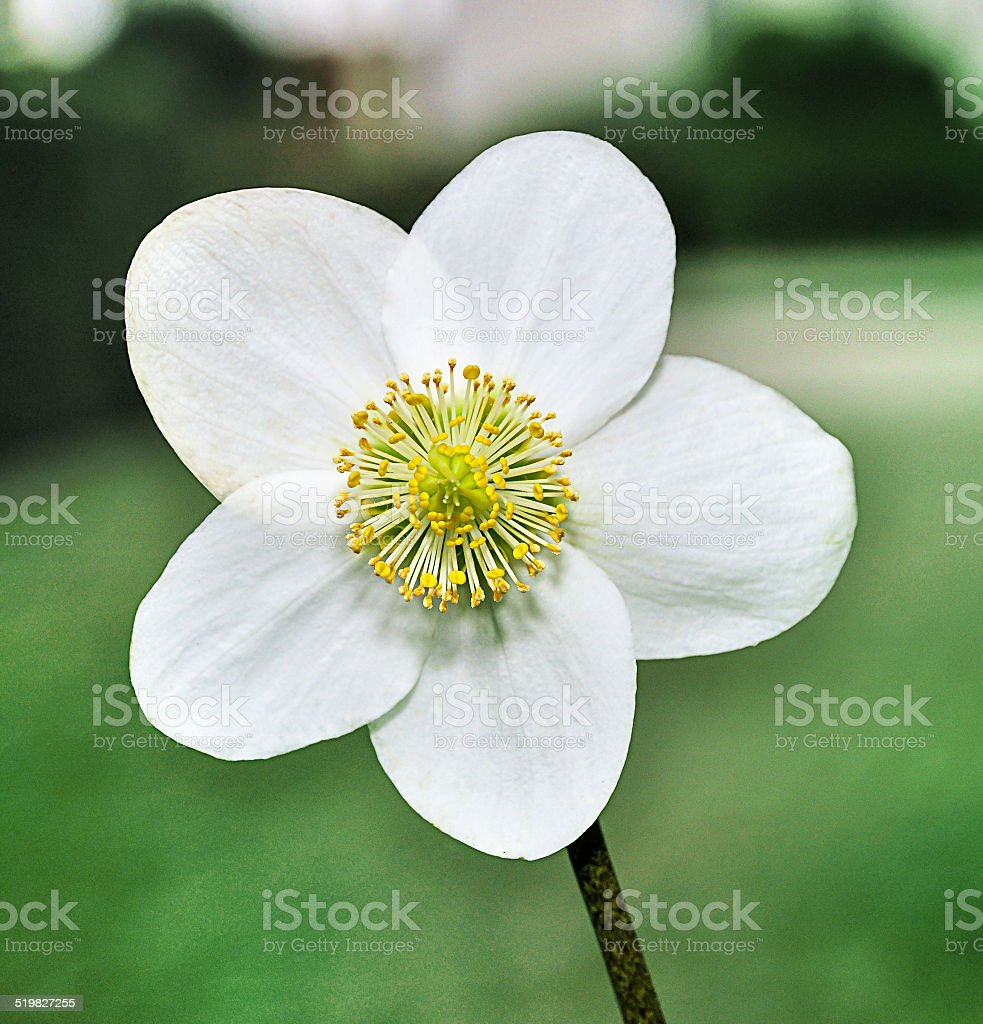 Closeup of one white flower of a Helleborus niger plant. stock photo