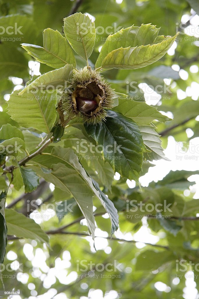 Close-up of Open Ripe Chestnut stock photo