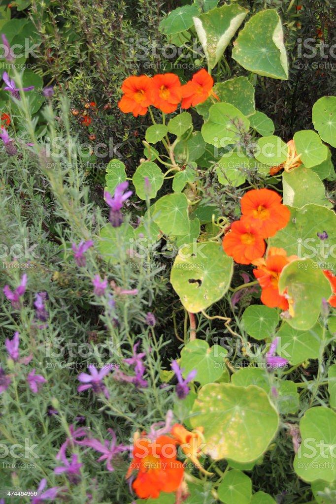 Primer plano de naranja y púrpuras de flores en un jardín foto de stock libre de derechos