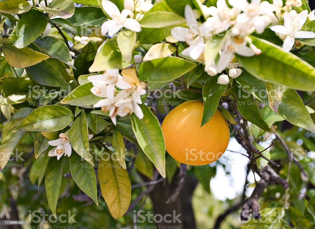 Close-up of orange blossoms and fruit on a tree stock photo