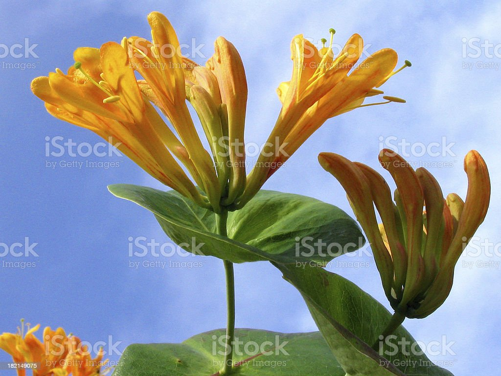 Close-up of orange honeysuckle flowerheads against a blue sky royalty-free stock photo