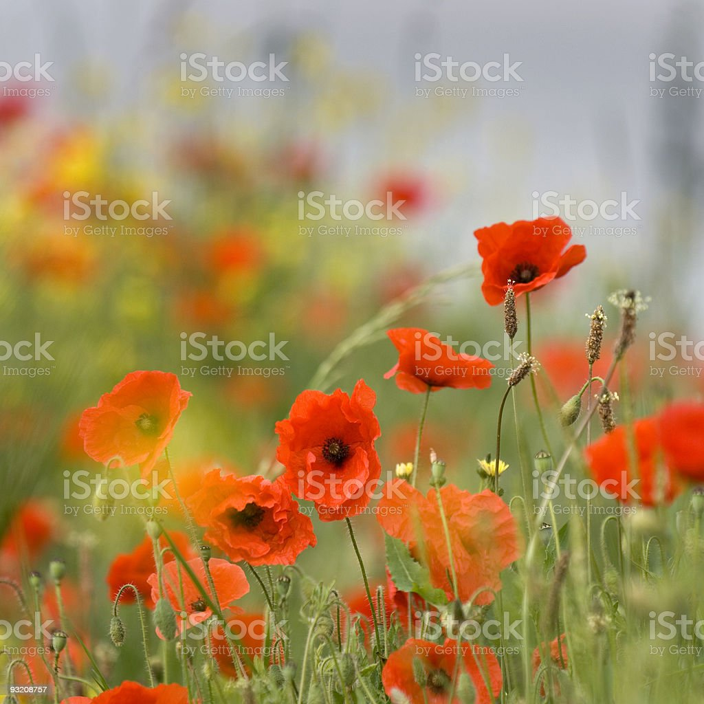 Close-up of orange poppies in a field royalty-free stock photo