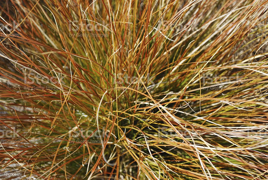 Close-Up of Orange Tussock Grass stock photo