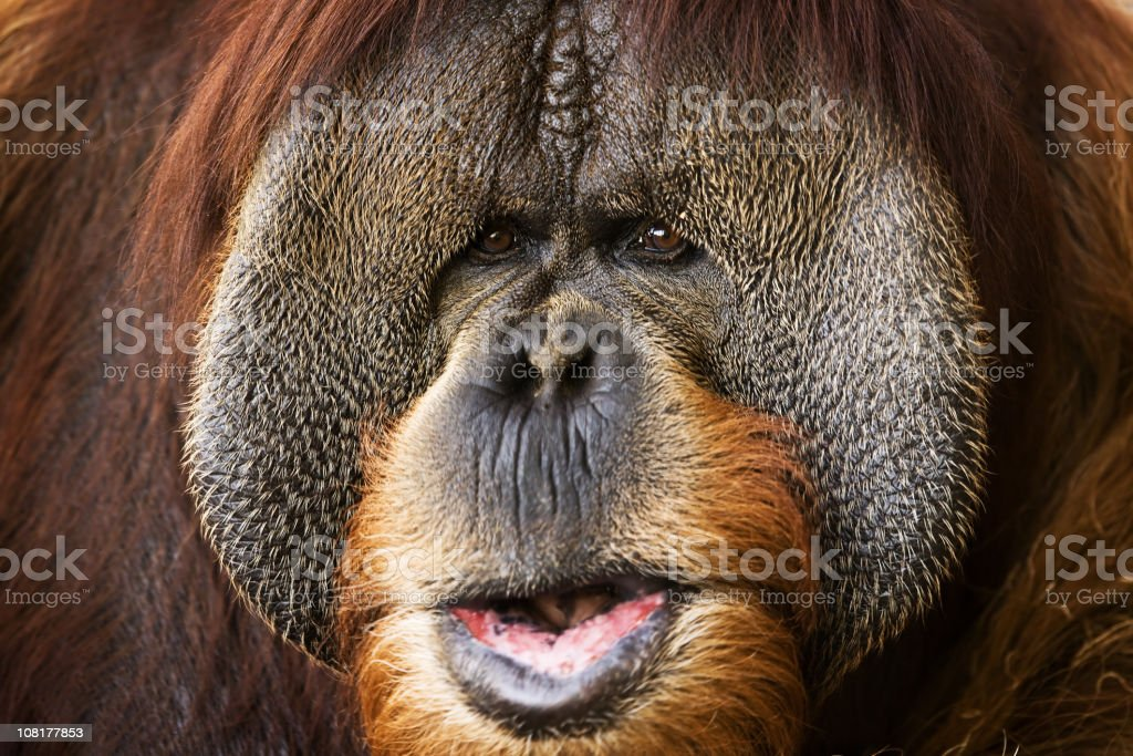 Close-up of Orangutan's Apes Face royalty-free stock photo