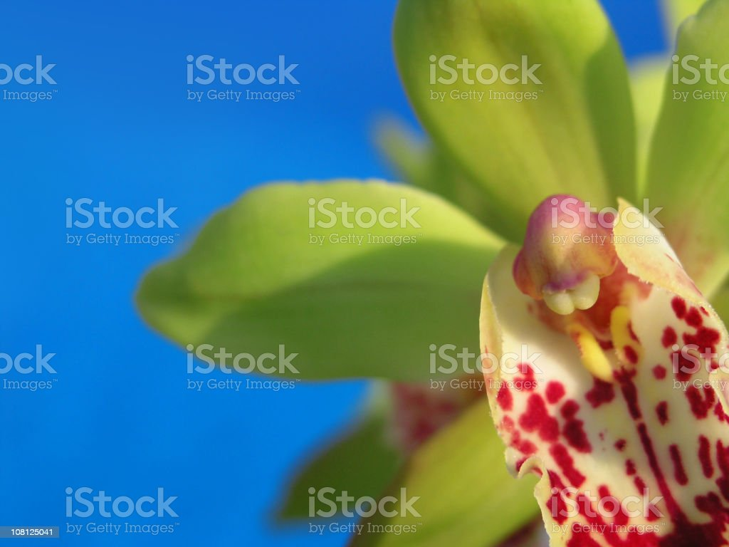 Close-up of Orchid Flower on Blue Background royalty-free stock photo