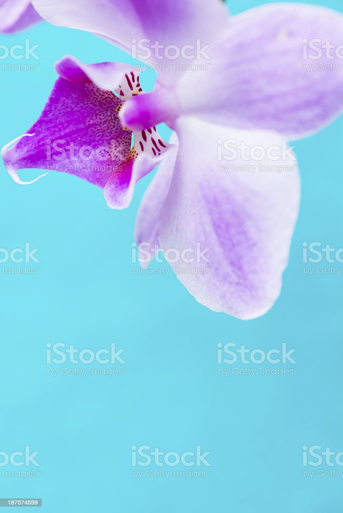 Close-up of orchid Flower on blue turquoise background royalty-free stock photo