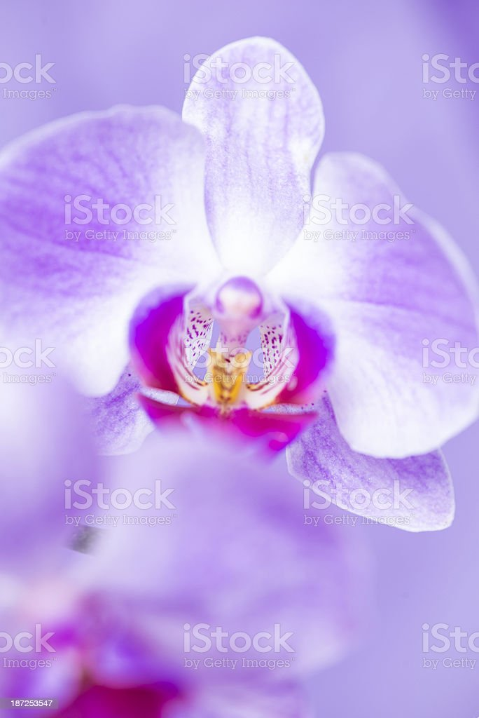 Close-up of orchid Flower on purple background royalty-free stock photo