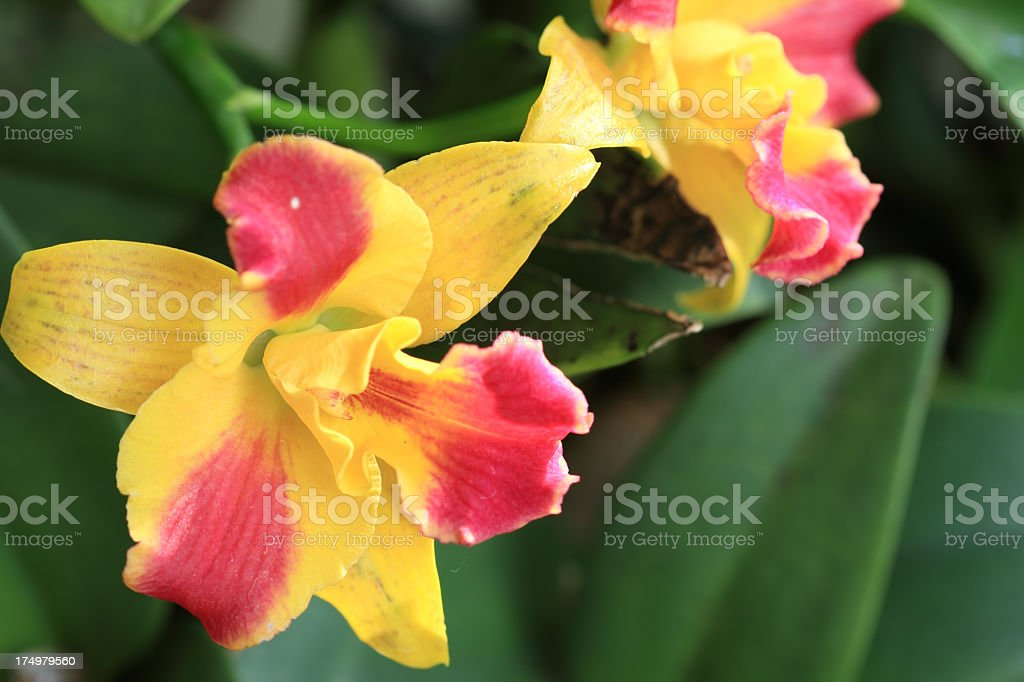 Close-up of Orchid Flower royalty-free stock photo