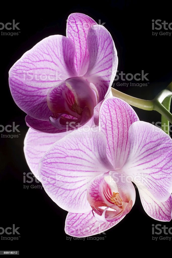 Closeup of orchid flowers on black royalty-free stock photo