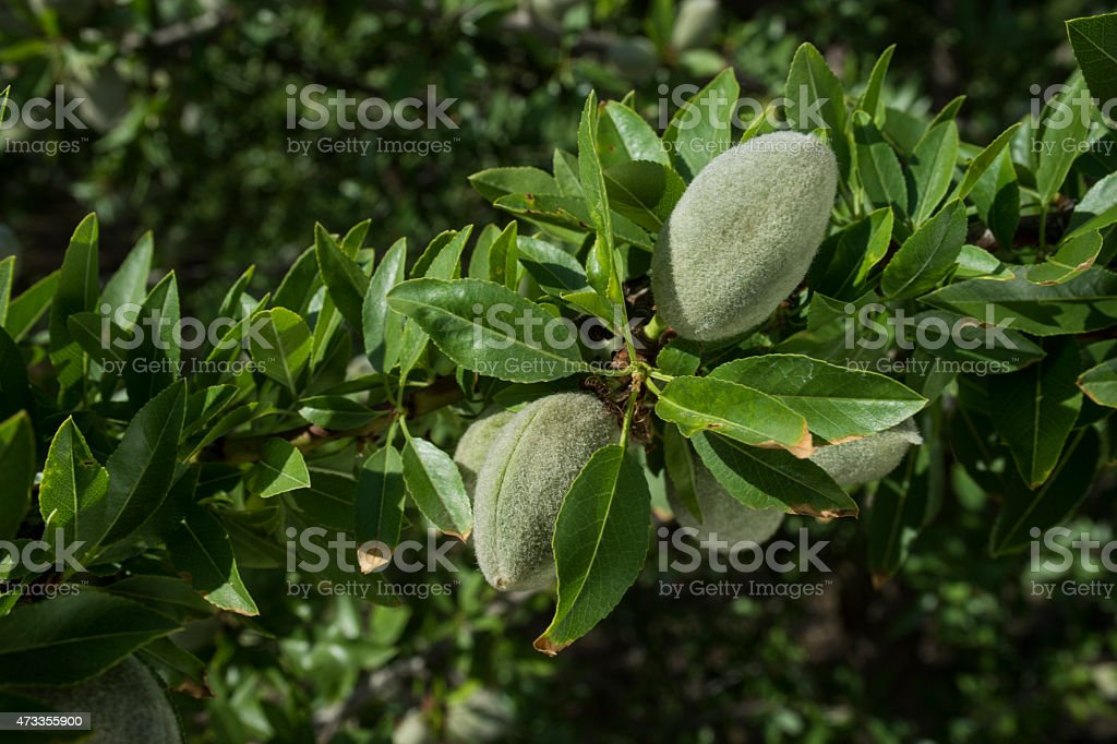 Close-up of Organic Almonds Ripening on Tree stock photo