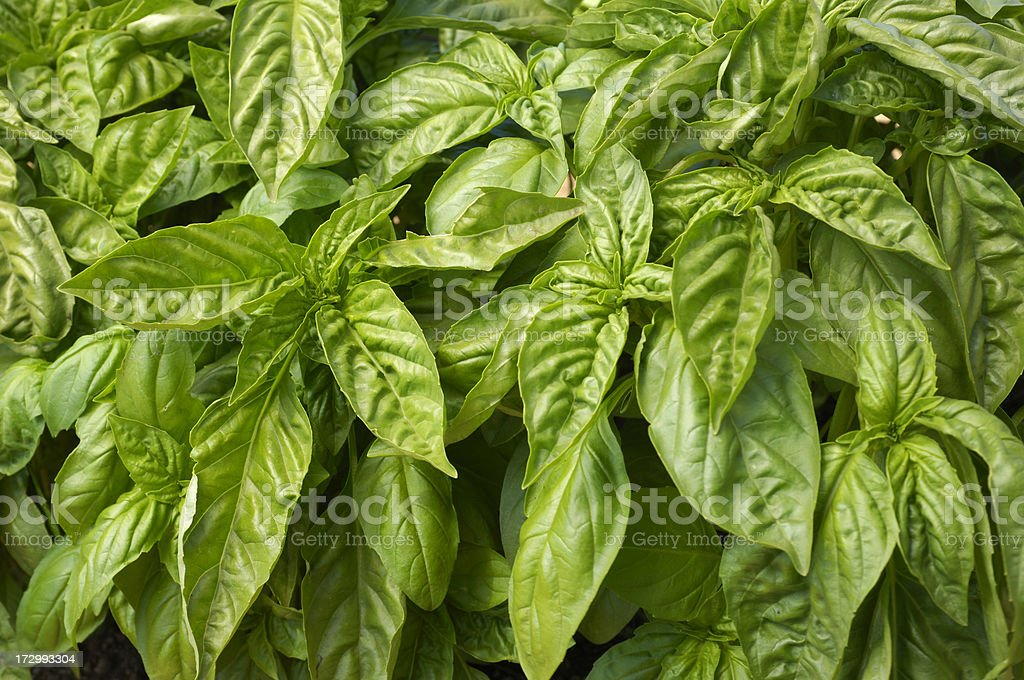 Close-up of Organic Basil Plants royalty-free stock photo