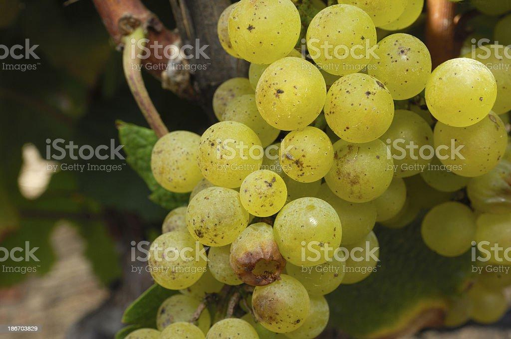 Close-up of Organic Chardonnay Wine Grapes on Vine royalty-free stock photo