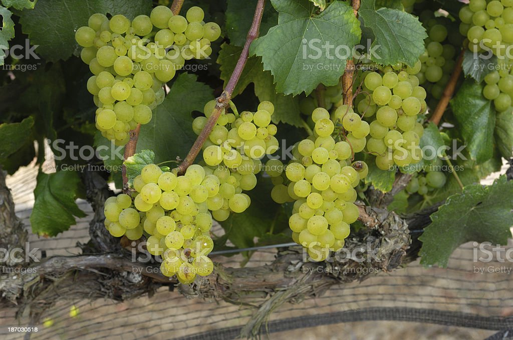 Close-up of Organic Chardonnay Wine Grapes on Vine royalty-free stock photo