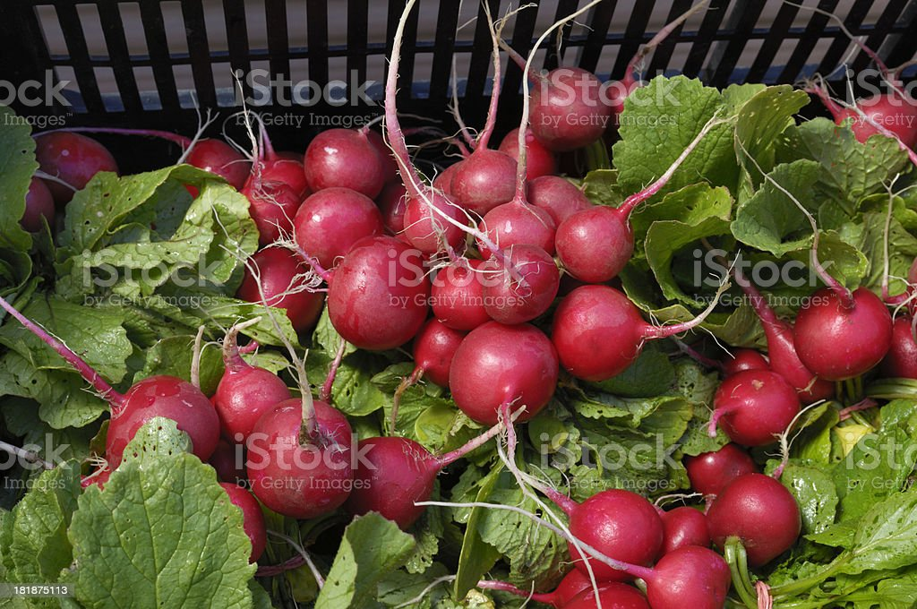 Close-up of Organic Red Radishes in Shipping Container royalty-free stock photo