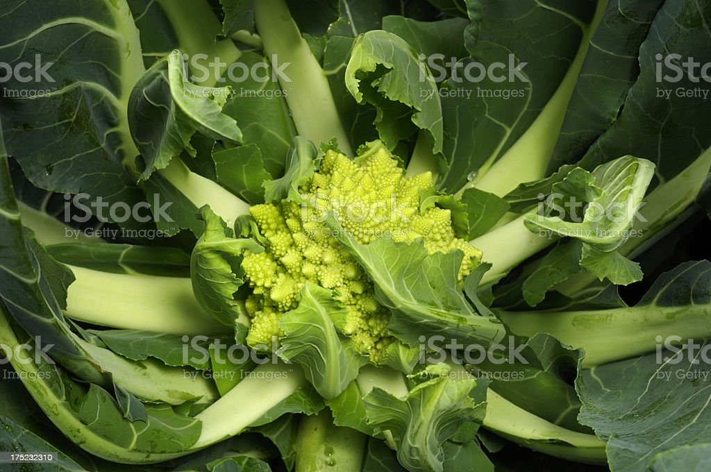 Close-up of Organic Romanesco Broccoli Growing in Field royalty-free stock photo