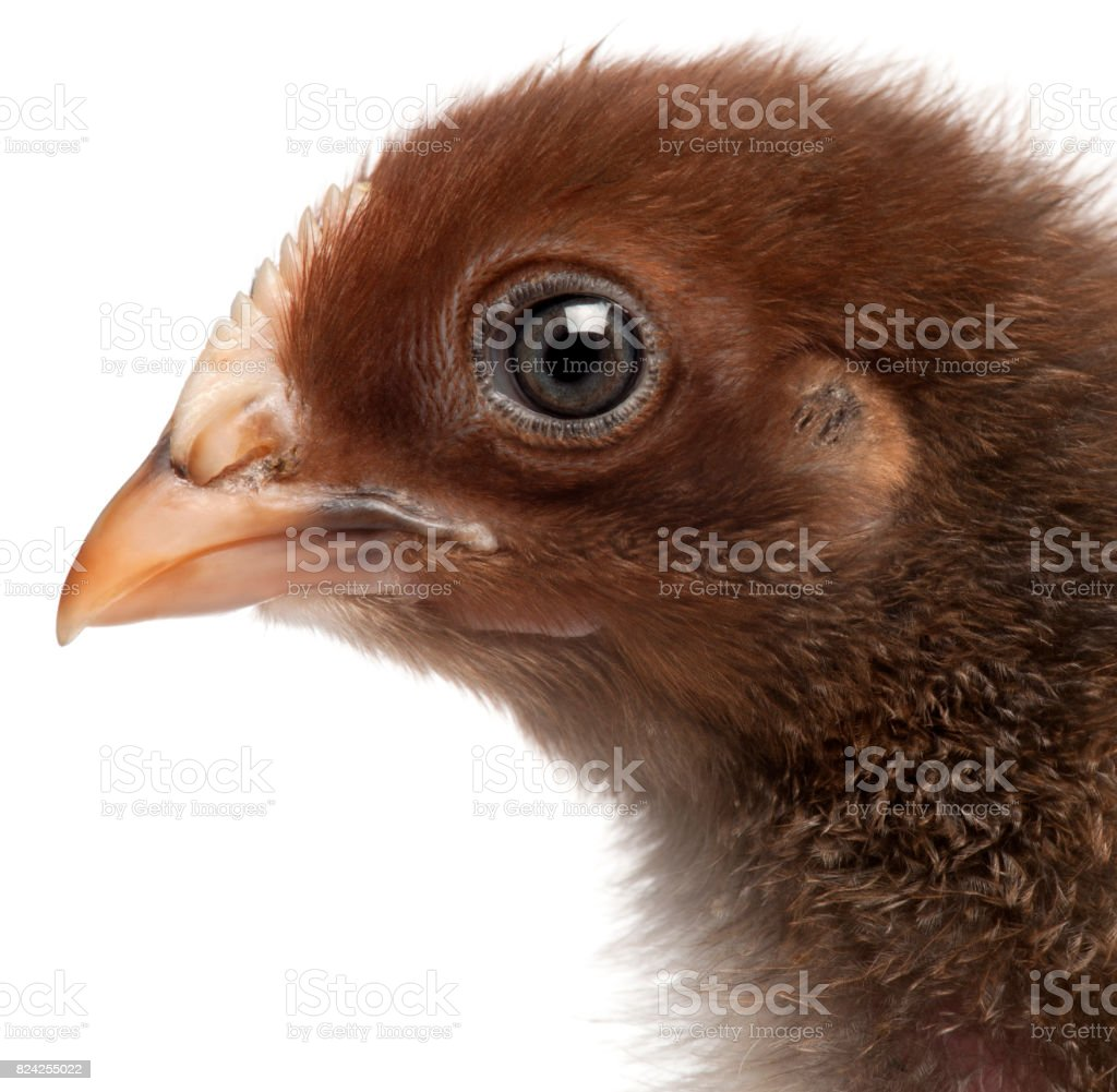 Close-up of Orpington, a breed of chicken, 3 weeks old, in front of white background stock photo