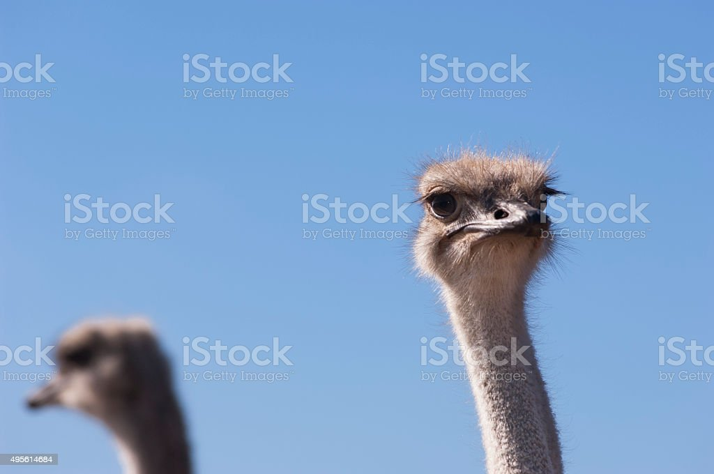 Close-up of Ostrich Looking at Camera stock photo