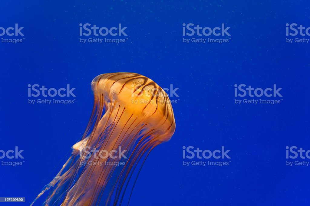 Close-up of Pacific Sea Nettle Jellyfish royalty-free stock photo