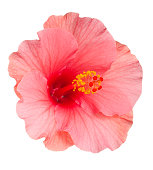 Close-up of pale pink Hibiscus flower on white background