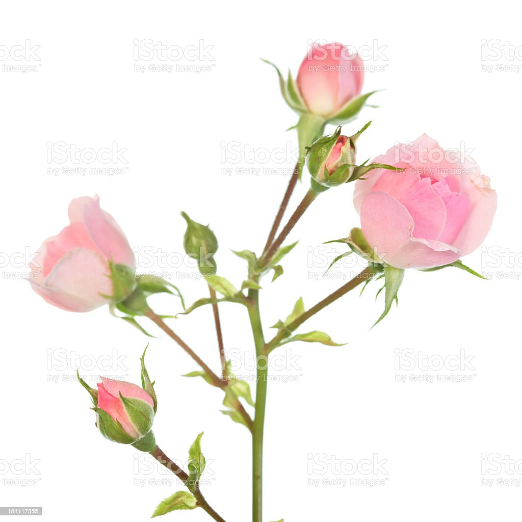 Close-up of pale pink roses on green and brown stems stock photo