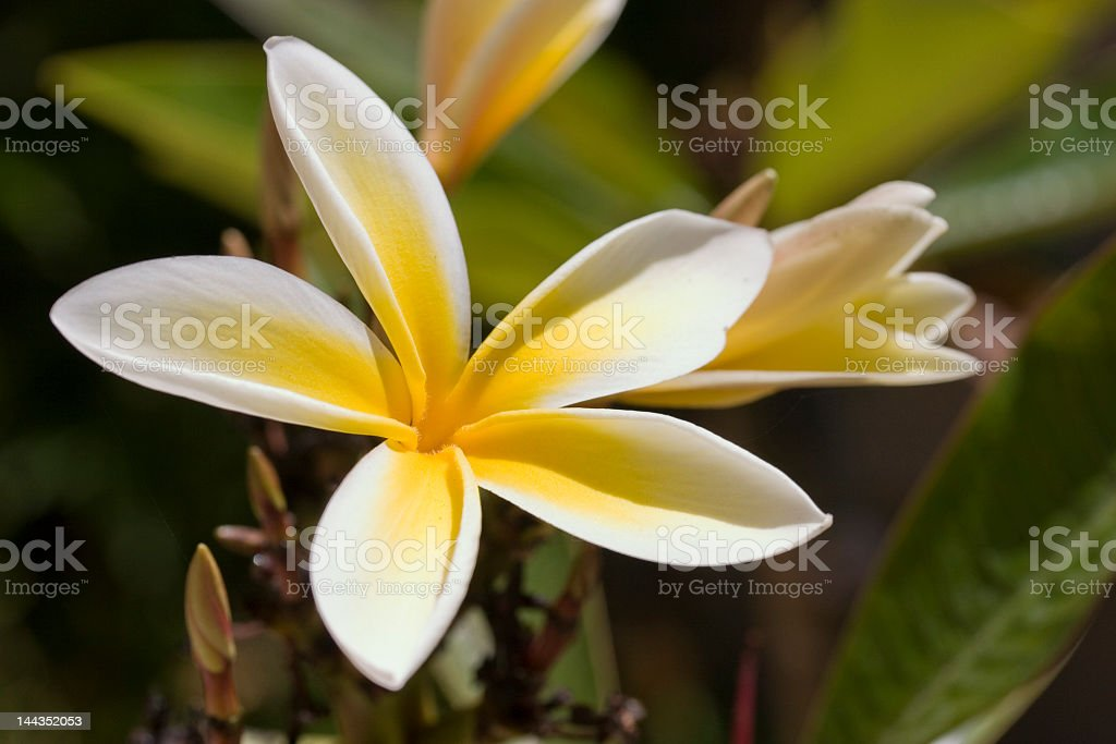Close-up of pale yellow Plumeria flower royalty-free stock photo