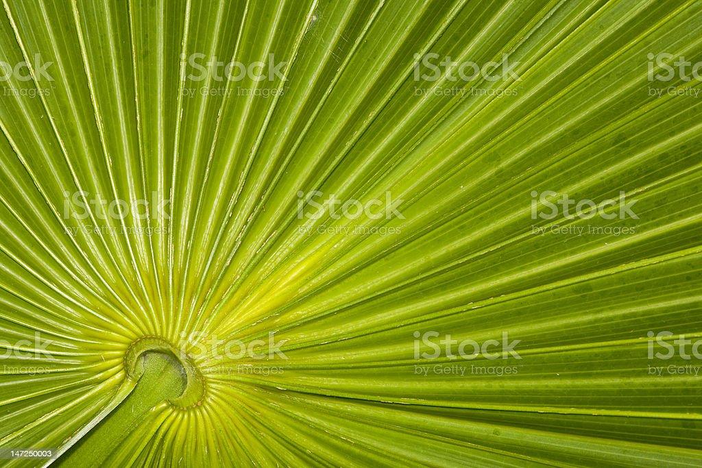 Closeup of palm leaf pattern royalty-free stock photo
