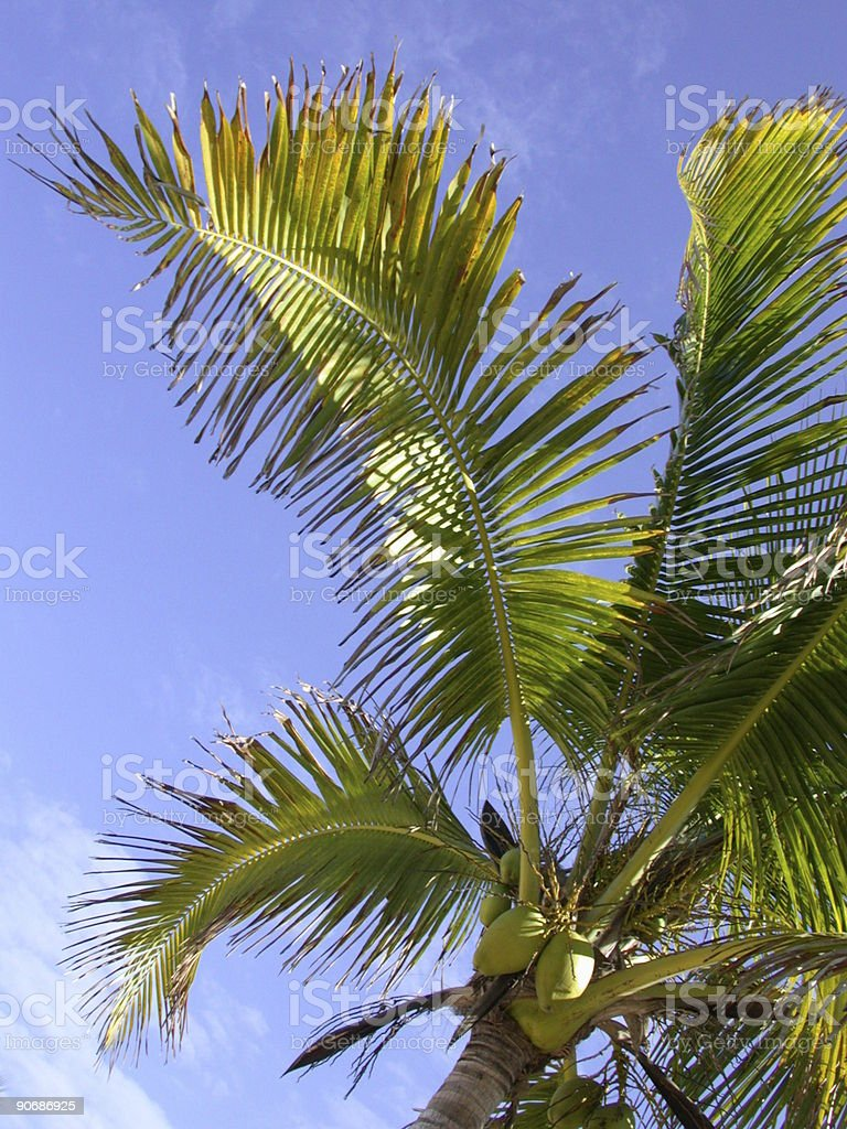 Closeup of Palm Tree royalty-free stock photo