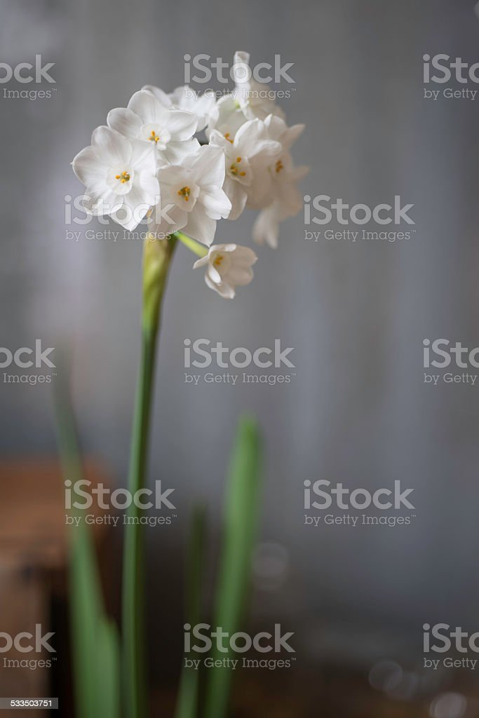 Close-up of Paperwhite Narcissus Flower stock photo