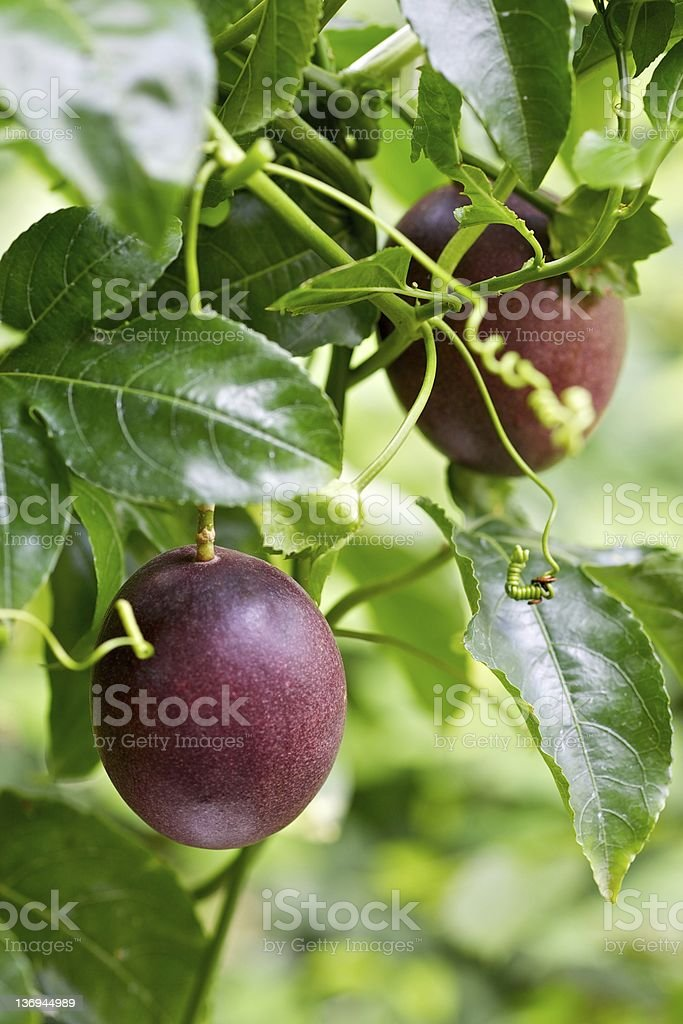 Close-up of passion fruits attached to vines and leaves stock photo