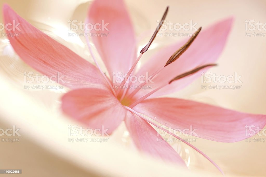 Close-up of pastel pink flower blossom royalty-free stock photo