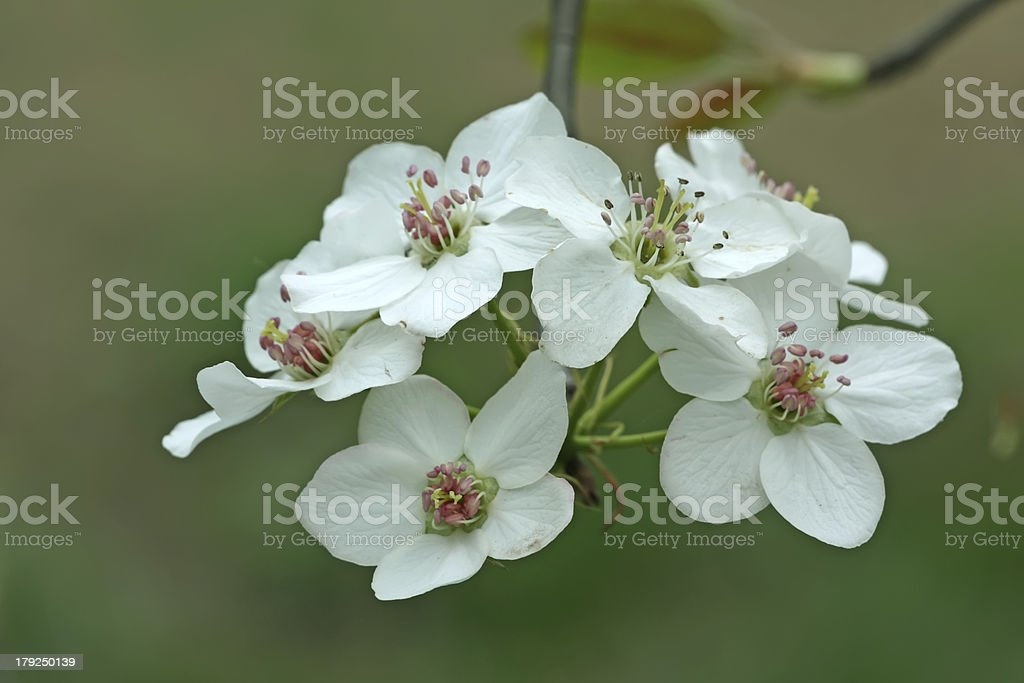 closeup of pear flower in the wild royalty-free stock photo
