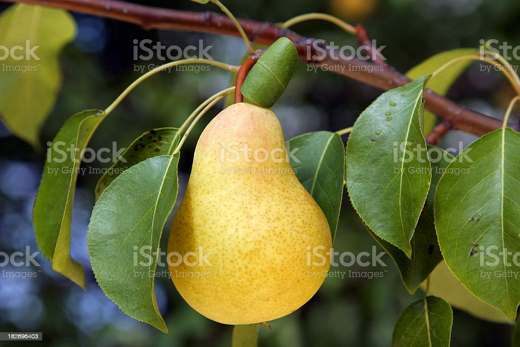 Closeup of pear hanging on a branch with leaves stock photo