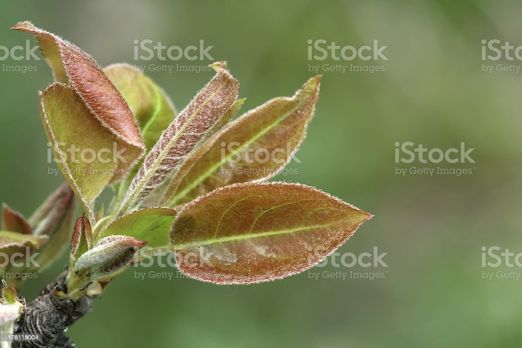 closeup of pear leaf in the wild royalty-free stock photo